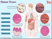 HumanTissue
