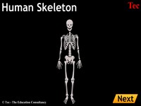 Skeleton Elements Human